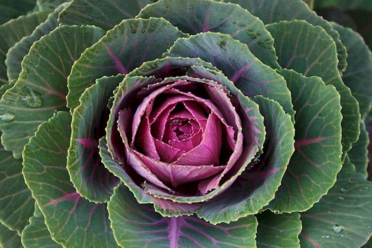 Colorful cabbage plants