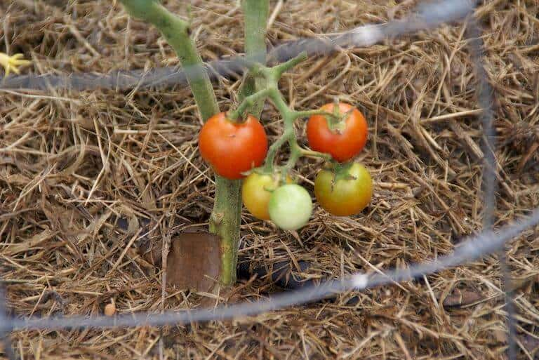 Straw bale tomatoes