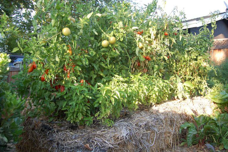 Best Plants for Straw Bale Gardening Straw Bale Tomatoes Potatoes