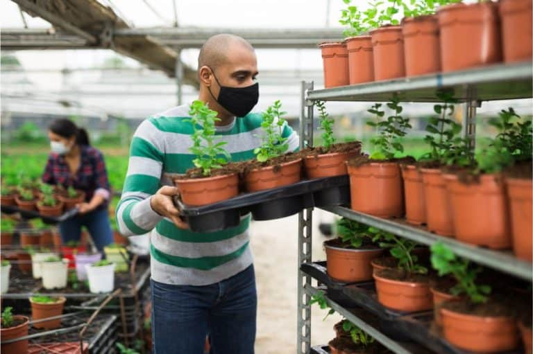 man and woman gardeners in protective face masks holding spearmint seedlings in pots at greenhouse