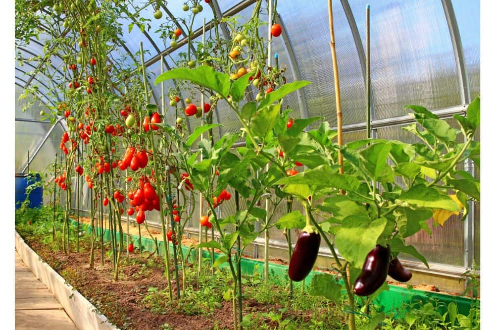 Ripening tomatoes and eggplant in greenhouse