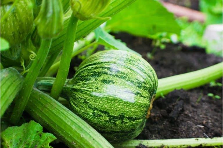 round squash in the garden