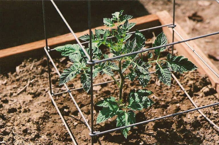 Cages provide supports to tomato plants
