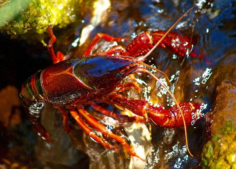 How to catch crawfish