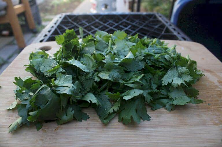 Cilantro herbs
