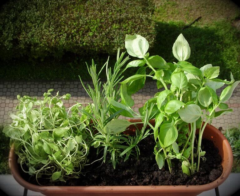 Growing herbs on balcony rail