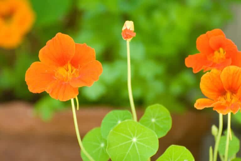 Growing edible flowers