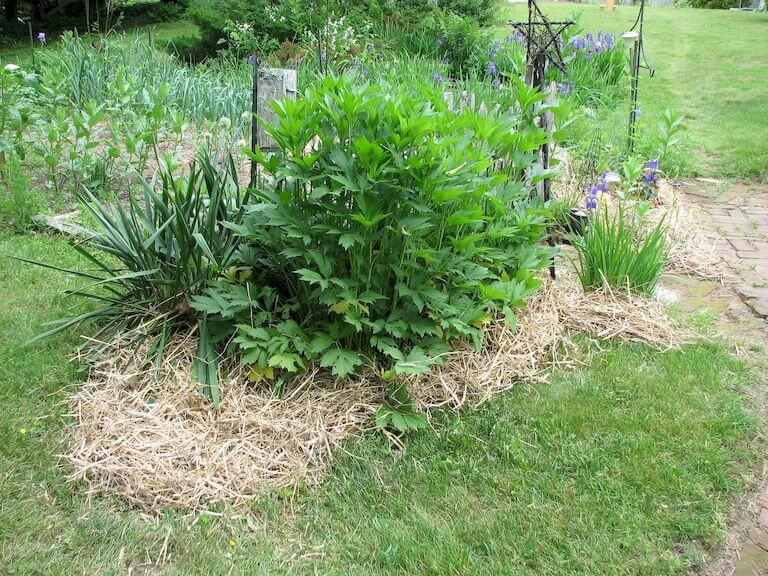 Using straw as mulch