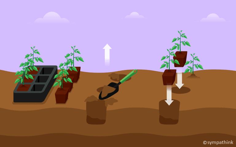 Set Out Summer Vegetable and Herb Transplants