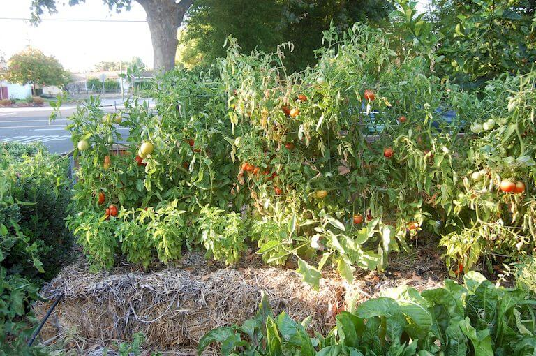 Row of tomato plants