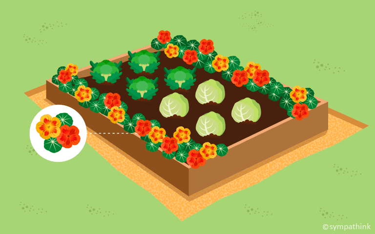Aphids companion planting